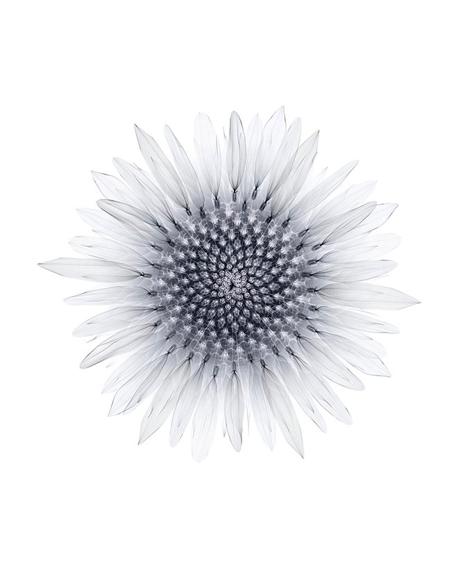 Macoto Murayama, Sunflower-ii-w, digital c-print, 56 x 45.7 cm, 2008. Used here by kind permission from Frantic Gallery. All rights reserved.